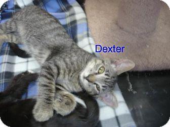 Domestic Mediumhair Kitten for adoption in Tehachapi, California - Dexter