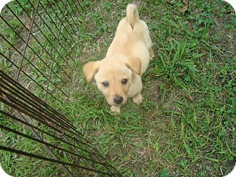 Labrador Retriever/Hound (Unknown Type) Mix Puppy for adoption in Old Bridge, New Jersey - Arizona