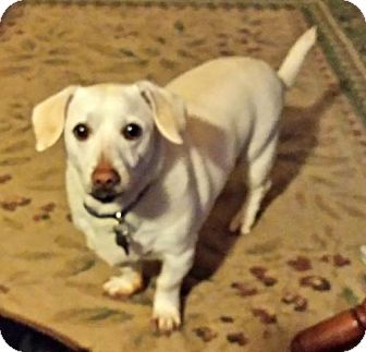 Dachshund Dog for adoption in Forest Ranch, California - Dylan