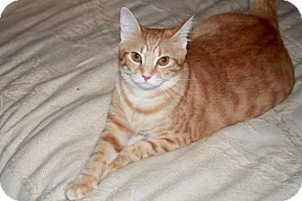 Domestic Shorthair Cat for adoption in Saint Augustine, Florida - Cora