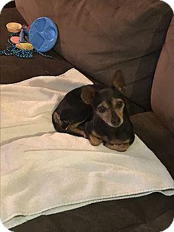 Miniature Pinscher Dog for adoption in Denver City, Texas - Betty