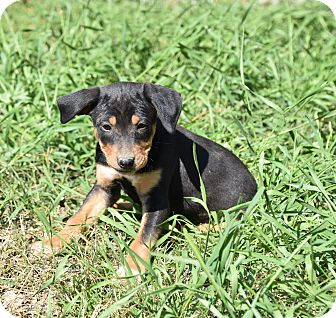 Feist/Cattle Dog Mix Puppy for adoption in Groton, Massachusetts - Alexi