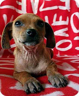 Chihuahua/Dachshund Mix Puppy for adoption in Philadelphia, Pennsylvania - Caliza