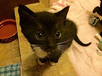 Domestic Shorthair Kitten for adoption in Tampa, Florida - Bucky