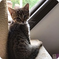 Adopt A Pet :: Courtesy Post brown kitten - Covington, KY