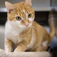 Adopt A Pet :: Sable - Memphis, TN