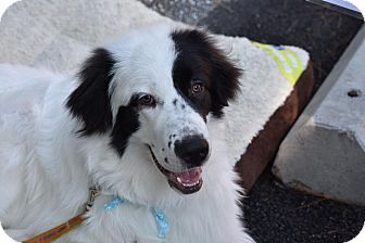Great Pyrenees Mix Dog for adoption in Columbia, Maryland - Winston