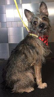 Yorkie, Yorkshire Terrier Mix Dog for adoption in McKinney, Texas - Thalassa