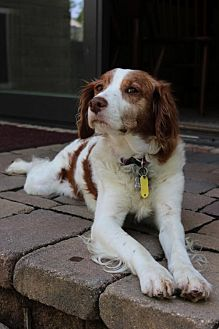 Brittany Dog for adoption in Pittsburgh, Pennsylvania - OH/Lucy