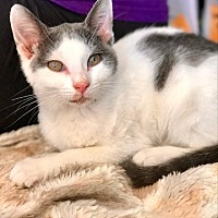 Adopt A Pet :: Cassidy - Island Park, NY