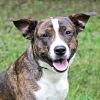 Adopt A Pet :: PATRIOT - richmond, VA