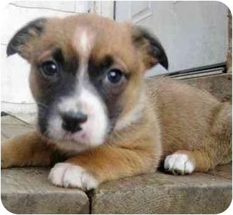 Boxer/Shepherd (Unknown Type) Mix Puppy for adoption in Chicago, Illinois - Tally