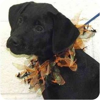 Labrador Retriever Mix Puppy for adoption in Evergreen, Colorado - Manila