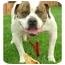 Photo 3 - English Bulldog Dog for adoption in Rolling Hills Estates, California - O'Neil