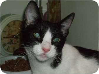 Domestic Mediumhair Cat for adoption in Houston, Texas - Westin