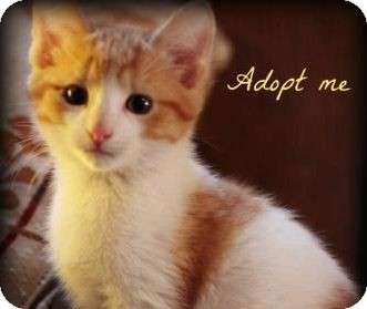 Domestic Shorthair Kitten for adoption in mishawaka, Indiana - Angel (kitten)