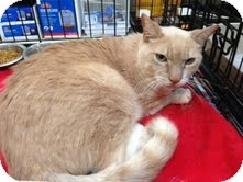 Domestic Shorthair Cat for adoption in Modesto, California - Buffy