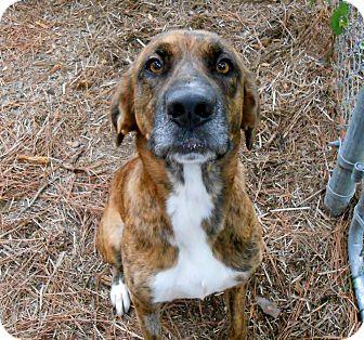 Hound (Unknown Type) Mix Dog for adoption in Murphysboro, Illinois - Cora-Lee