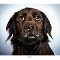 Adopt A Pet :: Beauty - New York, NY