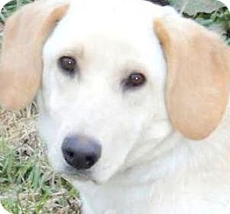 Labrador Retriever/Basset Hound Mix Dog for adoption in Winchester, Kentucky - MISS DORA(ADORES HER FAMILY!