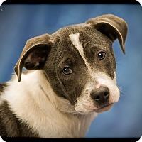 Adopt A Pet :: Lewis - Wickenburg, AZ