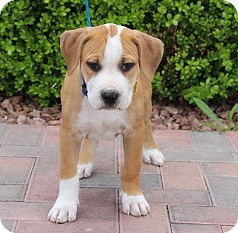 Pointer/American Pit Bull Terrier Mix Puppy for adoption in Las Vegas, Nevada - OPIE