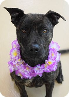 Pit Bull Terrier Mix Dog for adoption in Dublin, California - Piper
