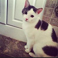 Domestic Shorthair Cat for adoption in New York, New York - Tigger