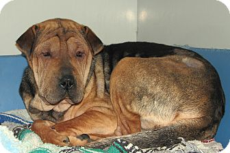 Shar Pei Mix Puppy for adoption in Ruidoso, New Mexico - Lelo