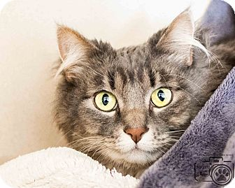 Domestic Longhair Cat for adoption in Divide, Colorado - Clover