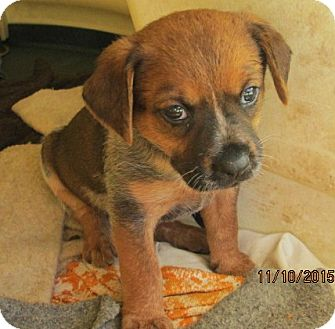 Australian Cattle Dog/German Shorthaired Pointer Mix Puppy for adoption in Brookside, New Jersey - Stormie