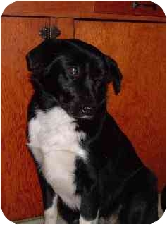 Australian Shepherd/Labrador Retriever Mix Puppy for adoption in Pine Valley, California - J.J.