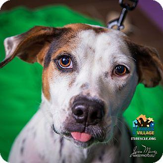 Pointer Mix Dog for adoption in Evansville, Indiana - Sophia