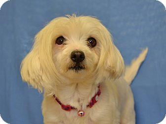 Maltese Dog for adoption in Larned, Kansas - Rose