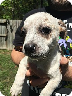 Australian Cattle Dog/Blue Heeler Mix Puppy for adoption in San Jose, California - Fiona