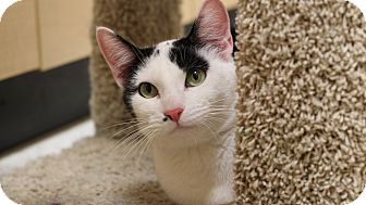 Domestic Shorthair Cat for adoption in Richmond, Virginia - Annie