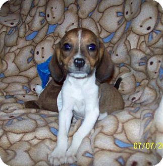 Beagle Mix Puppy for adoption in Sparta, Illinois - Odie
