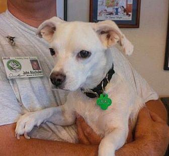 Beagle/Chihuahua Mix Dog for adoption in Scottsdale, Arizona - Penelope