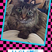 Domestic Longhair Cat for adoption in Scottsdale, Arizona - Jasmine