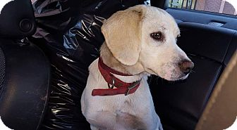 Beagle/Labrador Retriever Mix Dog for adoption in Rosemount, Minnesota - Logan