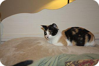 Calico Cat for adoption in St. Louis, Missouri - Bandit