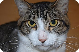 Domestic Shorthair Cat for adoption in Whittier, California - Boxie