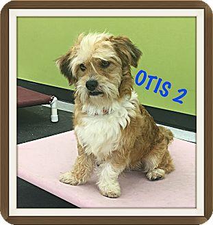 Lhasa Apso/Wheaten Terrier Mix Dog for adoption in Tempe, Arizona - Otis