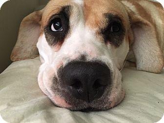 American Bulldog/Hound (Unknown Type) Mix Dog for adoption in Bogart, Georgia - Hattie