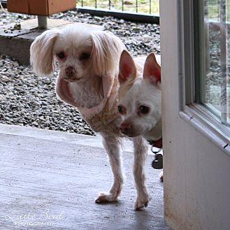 Maltese/Poodle (Miniature) Mix Dog for adoption in Seattle c/o Kingston 98346/ Washington State, Washington - Baby
