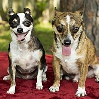 Adopt A Pet :: Sprocket--Fun little chi boy-N - Santa Fe, TX