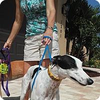 Adopt A Pet :: Se's Baby Rock - North Port, FL