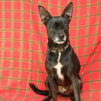 Chihuahua/Miniature Pinscher Mix Dog for adoption in Yucaipa, California - Johnny