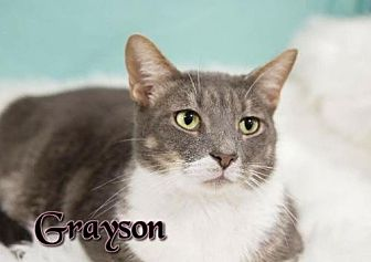 Domestic Shorthair Cat for adoption in Knoxville, Tennessee - Grayson  Male