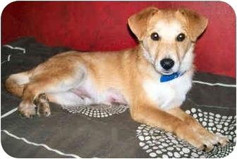 Labrador Retriever/Shepherd (Unknown Type) Mix Puppy for adoption in Latrobe, Pennsylvania - Gavin